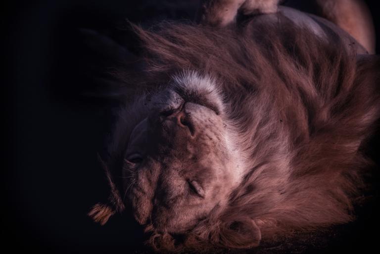 Foto de um leão, mansinho, de olhos fechado e deitado