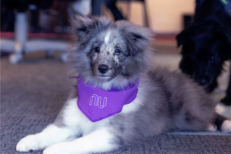Foto de um cachorro cinza, peludinho, com uma bandana Nubank roxa amarrada no pescoço
